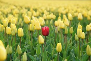 A singular red tulip in a field of yellow flowers symbolising personalised learning