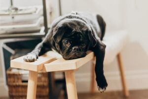 Changing leisure and activities symbolised with a relaxing Pug dog