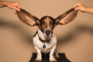 A sausage dog with his ears held open to listen to the music